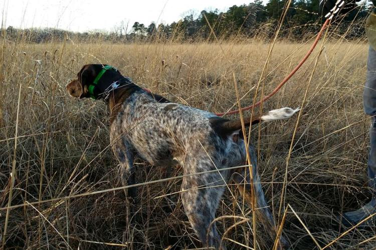 Pointer in the field spotting & posed for the owner